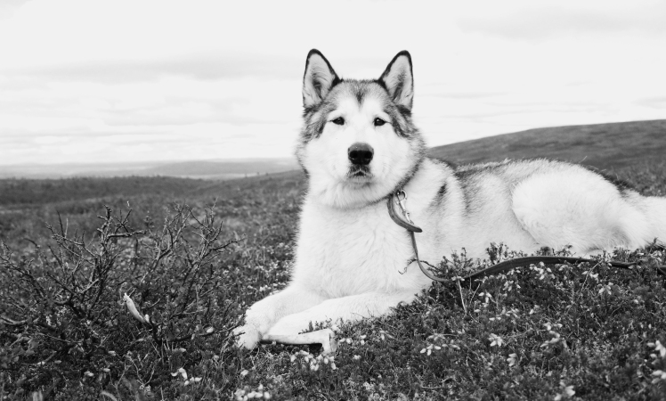 Alaska Dog - AYP